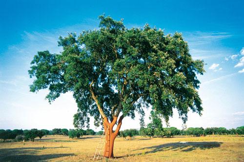 Drzewo korkowe